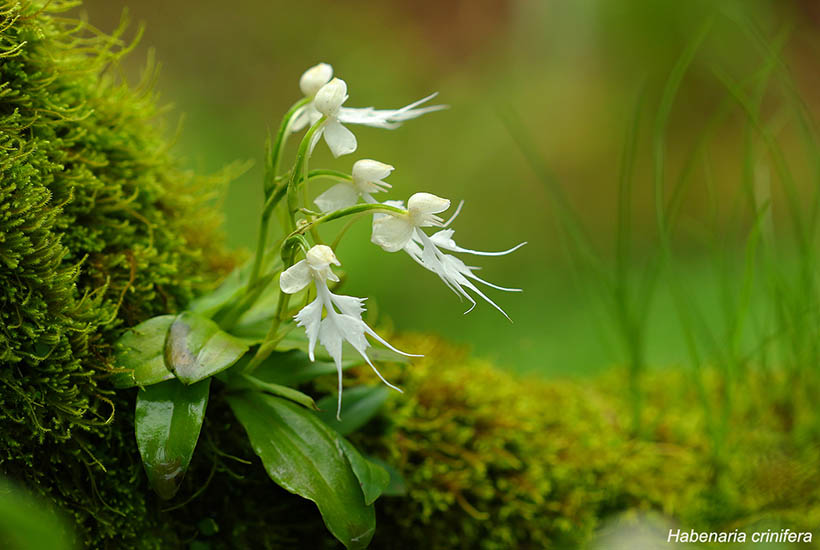 Doll Orchid