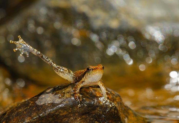 Uttarghati Dancing Frog